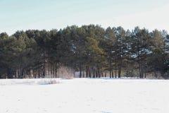 A floresta do pinho e a neve branca foto de stock