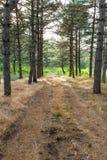 Floresta do pinho e um trajeto que vai para baixo Imagem de Stock