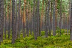 Floresta do pinho em Jurmala Fotografia de Stock Royalty Free