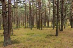 Floresta do pinho em Jurmala Imagens de Stock Royalty Free