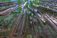 Floresta do pinho em Queenstown Nova Zelândia Fotos de Stock