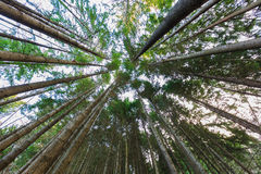 Floresta do pinho em Queenstown Nova Zelândia Imagens de Stock