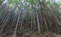 Floresta do pinho em Queenstown Nova Zelândia Fotos de Stock Royalty Free