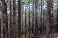 Floresta do pinho em Queenstown Nova Zelândia Fotografia de Stock Royalty Free