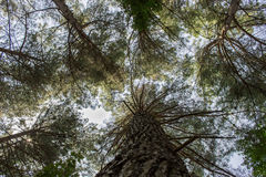 Floresta do pinho em um dia ensolarado Fotografia de Stock