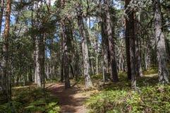 Floresta do pinho escocês Imagens de Stock