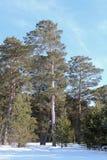 A floresta do pinho do inverno, céu azul imagem de stock