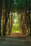 Floresta do pinho na luz solar Fotos de Stock