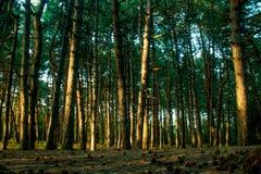 Floresta do pinho na luz solar Foto de Stock Royalty Free