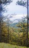 Floresta do pinho na manhã Imagem de Stock