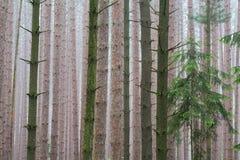 Floresta do pinho na névoa imagem de stock royalty free