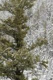 Floresta do pinho na neve de queda Imagens de Stock