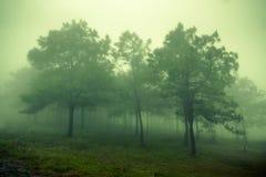 Floresta do pinho nas montanhas nas nuvens com névoa Fotos de Stock