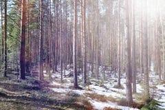 Floresta do pinho no início da mola sob a neve Un da floresta foto de stock