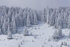 Floresta do pinho no inverno Fotos de Stock Royalty Free