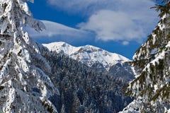 Floresta do pinho no inverno Foto de Stock Royalty Free