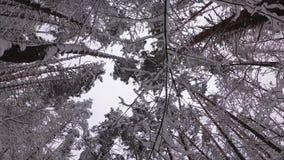 A floresta do pinho no inverno, ramos cobriu com a neve filme