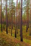 Floresta do pinho no outono adiantado Foto de Stock Royalty Free