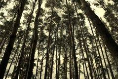 Floresta do pinho no sepia imagens de stock