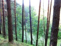 Floresta do pinho no verão 40 Fotografia de Stock