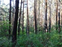 Floresta do pinho no verão 40 Fotos de Stock