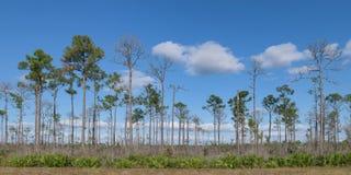 Floresta do pinho do parque nacional dos marismas imagem de stock