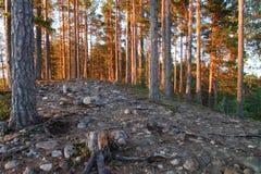 Floresta do pinho pelo lago Melkutin 2 Fotos de Stock Royalty Free