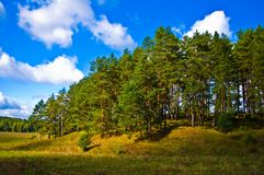 Floresta do pinho perto da cidade de Tarusa, Rússia Imagens de Stock Royalty Free