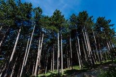 Floresta do pinho sob o céu azul nas montanhas Imagens de Stock
