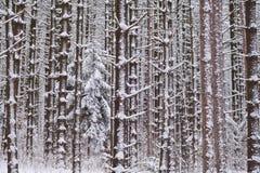 Floresta do pinho vermelho e branco Imagem de Stock