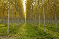 Floresta do Poplar foto de stock