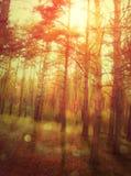 Floresta do por do sol Fotografia de Stock Royalty Free