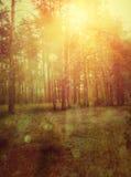 Floresta do por do sol Foto de Stock