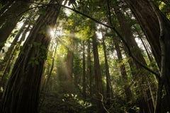 Floresta do Redwood imagens de stock royalty free