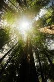 Floresta do Redwood fotos de stock royalty free