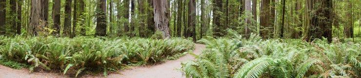 Floresta do Redwood de Califórnia Fotos de Stock