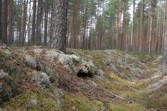 Floresta do russo Imagens de Stock