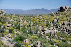 A floresta do Saguaro e a tampa do brittlebush em montes aproximam o pináculo P Fotos de Stock