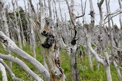 Floresta do tuckamore de Ghost Fotos de Stock Royalty Free