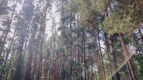 Floresta do verão com rede em alargamentos do sol filme
