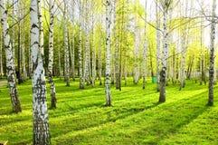 Floresta do vidoeiro Fotos de Stock Royalty Free