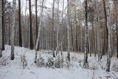 Floresta do vidoeiro Fotografia de Stock