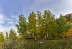 Floresta do vidoeiro do outono Imagem de Stock Royalty Free