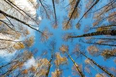 A floresta do vidoeiro do outono com amarelo sae no fundo do céu azul, a partir de baixo imagens de stock royalty free