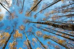 A floresta do vidoeiro do outono com amarelo sae no fundo do céu azul, a partir de baixo foto de stock