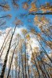 A floresta do vidoeiro do outono com amarelo sae no fundo do céu azul, a partir de baixo fotografia de stock