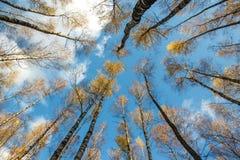 A floresta do vidoeiro do outono com amarelo sae no fundo do céu azul, a partir de baixo imagem de stock