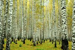 Floresta do vidoeiro, Ekaterinburg, Rússia Foto de Stock Royalty Free
