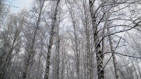 Floresta do vidoeiro do inverno em Novosibirsk As árvores são cobertas com a neve filme