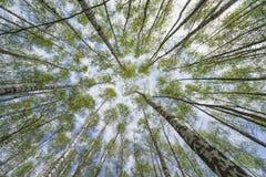 Floresta do vidoeiro na mola adiantada Foto de Stock
